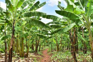 ルワンダ バナナ畑