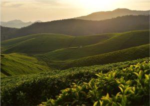 Rwanda-tea-plantation