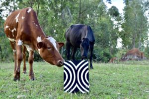 ingabo with cows